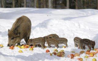 Чем питаются кабаны в дикой природе