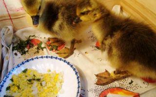 Как кормить гусят в первые дни жизни