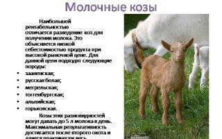 Советы и инструкции по правильному доению козы