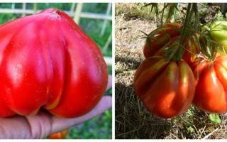 Выращиваем томаты сорта «бычье сердце»
