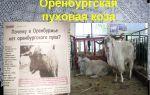 Описание и выращивание пуховой оренбургской породы коз