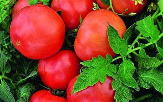 «щелковский ранний» – описание сорта томатов, не требующего множества хлопот
