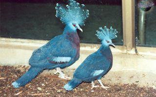 Обзор и фото веероносных венценосных голубей
