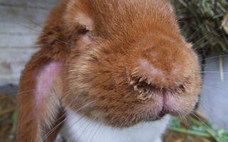 Методы лечения ринита (насморка) у кроликов