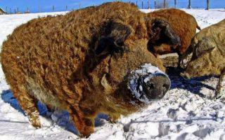 Особая порода свиней – кармалы