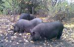 Обзор и правила разведения корейских свиней