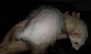 Причины и лечение облысения хвоста или тела у хорька
