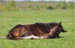 В какой позе спят лошади