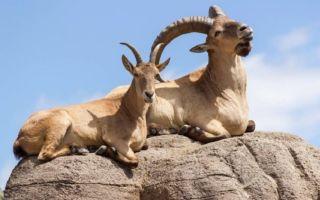 Вся информация о кавказских горных козлах турах и их жизни