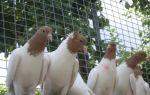 Древние и особенные иранские голуби – как же их разводить и в чем их особенность