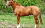 Вся информация и описание донской породы лошадей