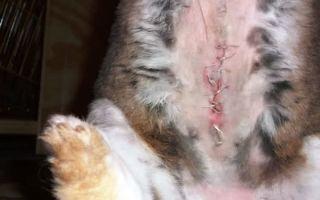Стоит ли кастрировать (стерилизовать) кроликов и как это правильно делать