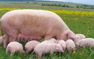 Обзор популярных пород свиней