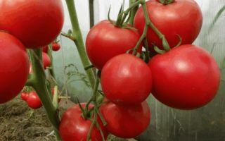 Описание сорта «сахарный пудовичок» – томатного тяжеловеса