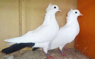 Обзор и характеристика бакинских голубей