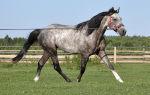 Все о русской молодой породе лошадей – терской