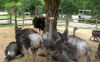 Что едят страусы на воле и в домашних условиях