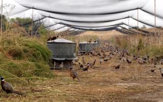 Разведение фазанов на ферме как бизнес