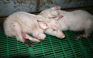Паратиф у свиней – как не допустить болезни или лечить ее