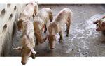Обнаружение и лечение цирковирусной инфекции у свиней