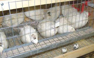 Бройлерный техасский перепел – условия содержания, уход и разведение
