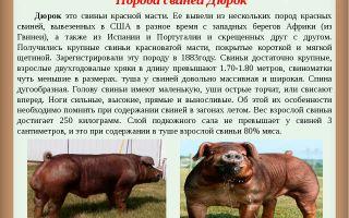 Характеристика и описание породы свиней дюрок