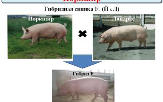 Описание и характеристика йоркширской породы свиней
