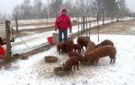 Как содержать свиней в зимнее время