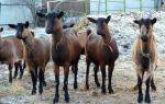 Чешские козы – описание породы и уход за ней