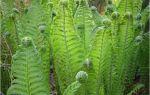 Страусник обыкновенный – уход и выращивание папоротника