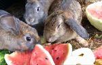 Можно ли давать кроликам арбуз