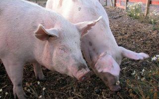 Вся информация по аскаридозу у свиней