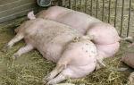 Полная информация по спариванию (случке) свиней