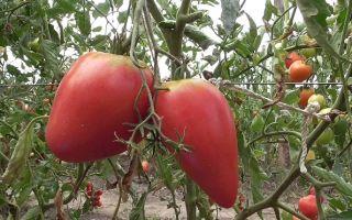 Выращивание и описание томатов «чудо земли»