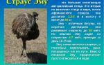 Особенности австралийских страусов эму и их характеристика