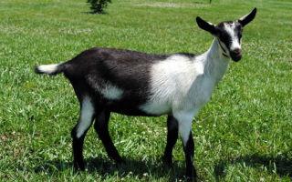 Известные на весь мир альпийские козы