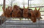 Каких кроликов разводят в беларуси