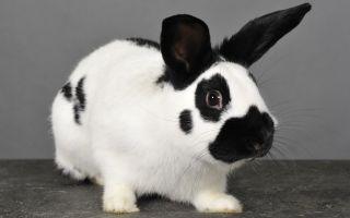 Интересная порода кроликов – бабочка