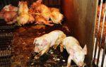 Почему поросята и свиньи кашляют и что делать