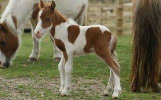 Миниатюрная порода лошадей – фалабелла