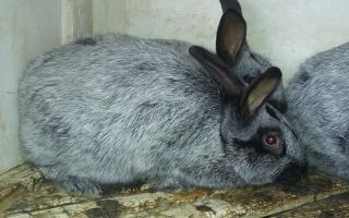Кролик полтавское серебро – описание и характеристики породы