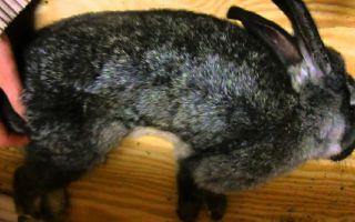 Как лечить эймериоз у кроликов