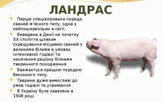 Обзор и характеристики породы свиней ландрас