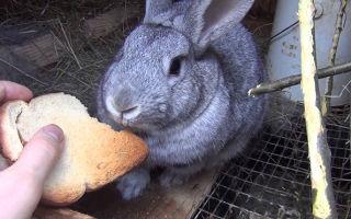 Допустимо ли кормление кроликов хлебом или сухарями