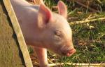 Как и чем вылечить понос у поросят и взрослых свиней в домашних условиях
