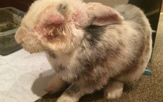 Профилактика, обнаружение и лечение миксоматоза у кроликов