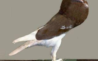 Описание и уход за голубями породы «дутыш»