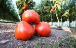 Описание и характеристика нового сорта томатов – «махитос f1»