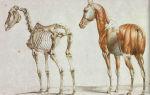 Разбор анатомии лошади: строение скелета и органов
