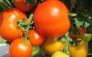 Описание и выращивание томата красная шапочка»